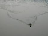 Duck in Jamaica Pond