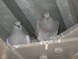 Framingham Pigeons