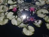 Lillies Around the Sun