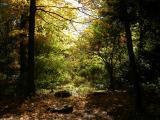 Sunbeam in the Woods
