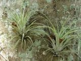 A Pair of Air Plants