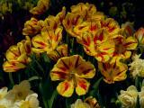 Cluster of Tulips