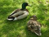 Pair of Lawn Ducks
