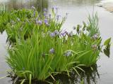 Lush Water Irises