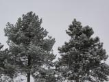 Snow-Dusted Evergreens