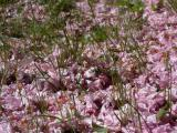 Petals on the Grass