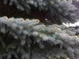 Layer of Spruce