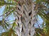 Woodpecker on a Palm
