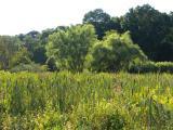 Cattails in the Arboretum
