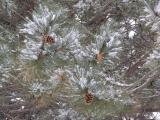 Cones, Branches and Snow