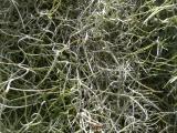 Spanish Moss Detail