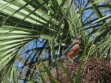 Robin in a Palm Tree