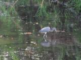 Heron in a Canal