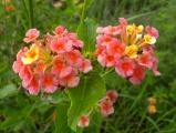 Sherbert Flowerlets