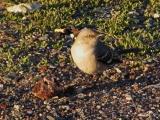 Mockingbird on Gravel