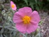 Hypnotic Pink Flower