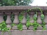Ivy and Columns