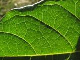 Green Leaf at Belmont