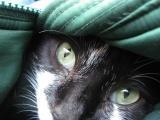 Cat in a Coat