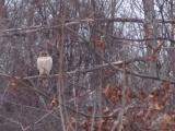 Hawk in a Winter Tree