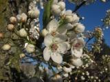 Sunlight on Blossoms