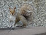 Alert Squirrel