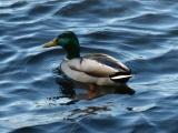 Mallard on Blue-Gray Ripples