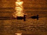 Ducks in the Sunlight