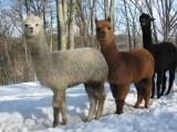Alpacas in a Line
