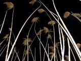 Reeds at Night