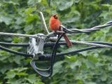 Cardinal with Technology