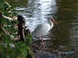 Ibis at Waters Edge
