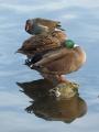 Duck, Duck, Moorhen