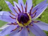 Purple Core
