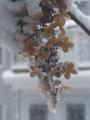 Snow on Petals