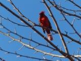 Cardinal among Branches