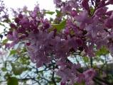 Lilacs in a Spring Shower