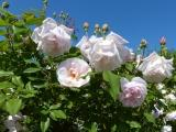 Spice Rose