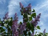 Harvard Lilacs