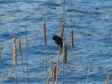 Mystic Blackbird