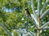 Waxwing in Florence