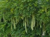 Seedpods in Berkeley