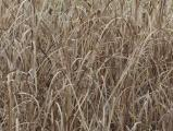 Monochrome Reeds