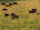 Lawn Cows