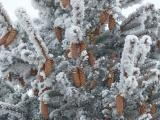 Pine Cones in a Flocked Tree