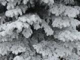 Frosted Boughs