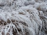 Frosted Plants I