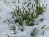 Spring Grasses, April Snow