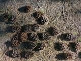 A Scattering of Pinecones