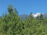 Summer Evergreens, Snowy Mountains